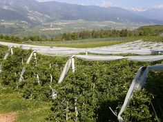 Apple trees with anti hail system in Tres, Val di Non, Italy