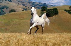 wild horse, running, white fur, vast field, mountains, strong, animal