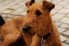 Irish Terrier- this is Mallie's breed. They afe beautiful and She is such a great dog!! So glad we got an Irish!!
