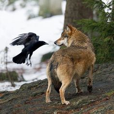 In the wild, wolves and crows (and ravens) are frequently found in each other's company. The crows fly ahead of the wolf pack to locate prey. In exchange, the grateful wolves leave behind a few tasty morsels for the scavenging crows. There is also evidence that the two species simply enjoy being around each other, as wolves and crows are commonly observed exhibiting playful behavior with one another.