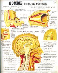 Organes des sens