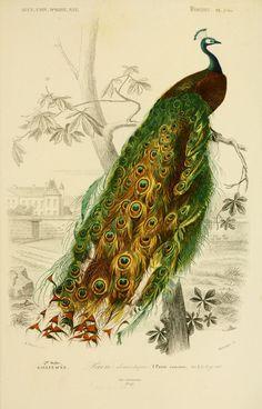 gravures couleur d'oiseaux - Gravure oiseau 0255 paon domestique - pavo cristatus - gallinace - Gravures, illustrations, dessins, images