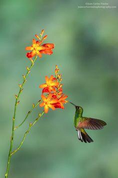 Stripe-tailed Hummingbird byJuan Carlos Vindas
