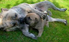 Criadores de Ca de Bou o Dogo Mallorquín en España | Mascotas.