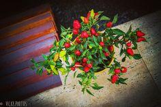 """""""Não gosto da vida em banho-maria, gosto de fogo, pimenta, alho, ervas ... Por um triz não sou uma bruxa ..."""" (Martha Medeiros) #pimenta @flaviaencinas @vicky_photos_infantis https://www.facebook.com/vickyphotosinfantis http://websta.me/n/vicky_photos_infantis https://www.pinterest.com/vickydfay https://www.flickr"""