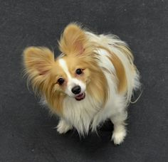 Valentine's Papillon Playdate.  Andrea Arden Dog Training at Animal Haven in NYC.  February 16, 2013. #dogs #papillon