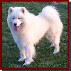 American Samoya - I realize the hair would drive me crazy but I really want one of these dogs sooooooo pretty. Fluffy Puppies, Dogs And Puppies, I Love Dogs, Puppy Love, Sammy, A Husky, Gentle Giant, Beautiful Dogs, Best Dogs