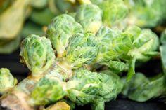 Tilberedning af rosenkål (kogt, stegt og ovnbagt) Lettuce, Sprouts, Zucchini, Vegetables, Food, Tips, Summer Squash, Eten, Brussels Sprouts