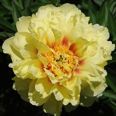 Peonies for Sale at Spring Hill Nurseries Peonies For Sale, Peony Care, Trees For Front Yard, Yellow Peonies, Spring Hill Nursery, Best Perennials, Spring Perennials, Easy Care Plants, Clematis Vine