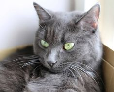 Valyrian loves sitting in a nice warm box by the window! Russian Blue Kitten, Three Cats, Kinds Of Cats, Blue Cats, Cute Cats And Kittens, Cat Lovers, Wonderland, Window, Kitty
