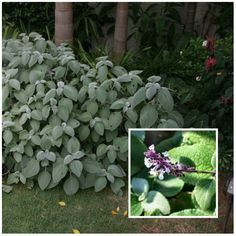 Silver Spurflower (Plectranthus Argentatus) is a shade loving plant Shade Garden Plants, Garden Shrubs, Back Gardens, Outdoor Gardens, Outdoor Life, Front Garden Path, Dragon Garden, Cactus, Australian Native Garden
