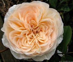 Perdita ~ English Shrub Rose