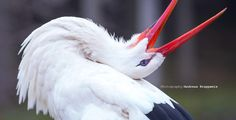 Clattering Stork by Andreas Krappweis on 500px
