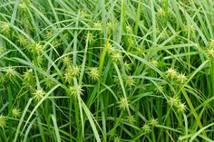 Carex grayi - Morgensterzegge  Siergrassen, groen tot begin van de winter, bloei juli-september, zon schaduw, 50cm