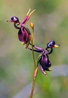 Flying Duck Orchid (Caleana Major) - Found in eastern and southern Australia, this flower resembles a duck. Its appearance attracts insects that pollinate it.