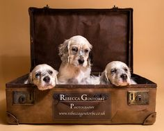 Redhara Setters English Setter Puppies Rebecca Goutorbe