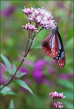 monarch butterflies (Parantica sita) by T.takako