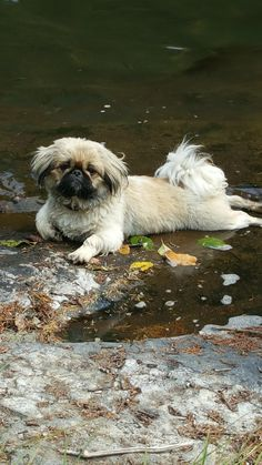 Pekingese love Cute Funny Animals, Cute Baby Animals, Animals And Pets, Fu Dog, Dog Pee, Cute Puppies, Cute Dogs, Dogs And Puppies, Spaniel Breeds