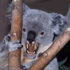 Drop bears target tourists, study says - Australian Geographic.    Drop bears are less likely to attack people with Australian accents...