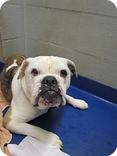 Lakeland, FL - English Bulldog. Meet Roxy, a dog for adoption. http://www.adoptapet.com/pet/13407122-lakeland-florida-english-bulldog