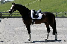 Rohdinger, Stallion. 100% German Bloodlines, of international dressage sensations Rohdiamant and Stedinger. Hannoverian Oldenburg http://www.equinetrader.co.nz/studbook1/chevauxdansantsstables/rohdinger/