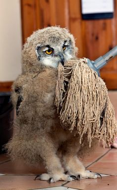 A baby owl at the Screech Owl Sanctuary in the UK has become friends with a mop. la fregona no se que es maias ces dour Baby Owls, Cute Baby Animals, Owl Bird, Pet Birds, Screech Owl Sanctuary, Owl Always Love You, Wildlife Nature, Mundo Animal, Kinds Of Birds