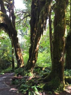 Hoh Rainforest: Itching for a Pacific Northwest road trip? Get this detailed 6-day Olympic National Park Itinerary filed with tips for the best hikes, campsites, beaches, & food!