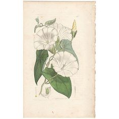 Sowerby antique 1796 hand-colored engraving, Pl 313 Great Bind-weed