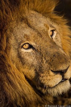 Eye of the lion. I took this photo of a spectacular male lion at sunset in Kafue National Park, Zambia.