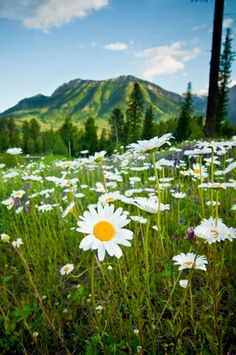 A field of #daisies in the #mountains of Fernie, BC