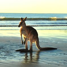 Share the beach with kangaroos in Cape Le Grand National Park, Australia.