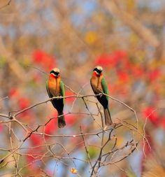 White Fronted Bee-eaters. Okavango Panhandle, Botswana Africa. September 2012 Nikon D300 VR 70-300 f4.5 - 5.6G Shot at 300mm f6.31/800 sec