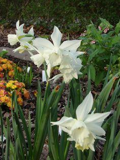 Bildresultat för orkidénarciss