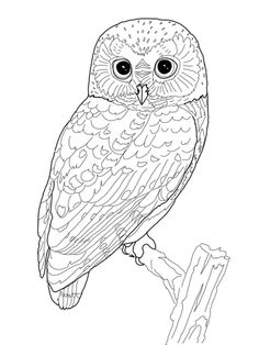 northern saw whet owl coloring page - Owls Coloring Pages 2