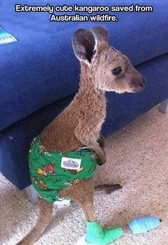 Baby kangaroo…