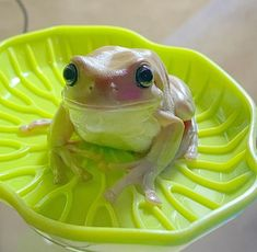 Cute Reptiles, Reptiles And Amphibians, Frog Pictures, Animal Pictures, Cute Little Animals, Baby Animals, Whites Tree Frog, Frog House, Frog Wallpaper