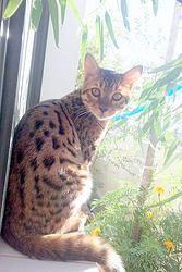 Vínculo con los Gatos Bengalíes