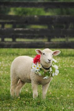 Blossom the lamb wearing flowers. From Punkin's Patch farm shop at Equinox Farm in Cynthiana, Kentucky