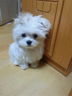 What breed of dog is a #maltese? Facts and Pictures #DogCutest #SmallDog