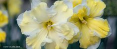 Daffodil Cassata | Daffodil Bulbs for Sale | COLORBLENDS  100/$67  250/$167.50