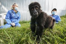 Negotiating with rebels and being charged by silverbacks is just another day on the job for the Gorilla Doctors.