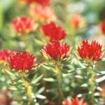 Rhodiola (Rhodiola rosea) Use a standardized extract  with 2-3% rosavin and 0.8-1% salidroside. Start with 100 mg once a day for a week and then increase the dosage by 100 mg every week, up to 400 mg a day, if needed