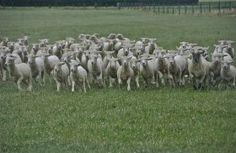 Charge; sheep farm; Canterbury region near Geraldine, South Island, New Zealand.  January 2014.