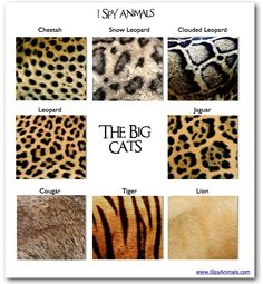 I Spy Animals: Seeing spots...a Big Cat Test
