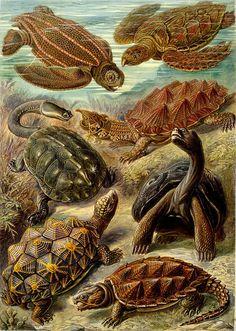 "Turtle from ""Kunstformen der Natur"" (Art Forms of Nature) by Ernst Haeckel"