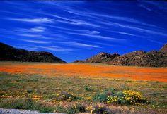 南アフリカの首都ケープタウンから北へ300キロほど走ると現れるのは、野生の花々が咲き乱れるナマクワランドと呼ばれる土地。1年のほとんどが乾いた半砂漠ですが、荒野に起こる春の奇跡とも言えるような一面の花々には息をのむほどです。