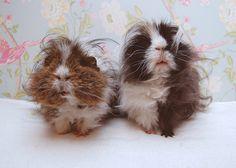 fluffy guinea pigs