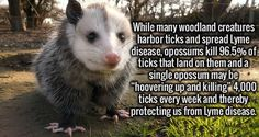 Opossums kill ticks and prevent Lyme disease! DON'T HIT THEM! (I've always thought they were kinda cute)