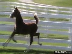 Saddleseat Horse - could this be a natural fox trotter? Cute Horses, Horse Love, Beautiful Horses, Animals Beautiful, Beautiful Creatures, Funny Animal Videos, Funny Animal Pictures, Funny Animals, Cute Baby Animals