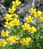 Melilotus Officinalis Yellow Sweet Clover Flower, 3000 Seeds